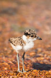 Lapwing Chick Contemplating Royalty Free Stock Image