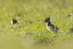 Lapwing chick exploring farmland Royalty Free Stock Images
