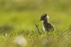 Lapwing chick exploring farmland Stock Photo