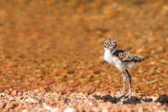 Lapwing Chick at Lake Royalty Free Stock Photos