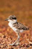 Lapwing Chick by Lake Stock Photos