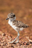 Lapwing chick on pebble beach by lake Victoria Stock Photography
