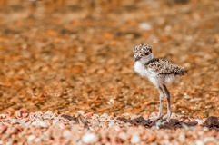 Lapwing Chick on Pebble Beach Royalty Free Stock Photos