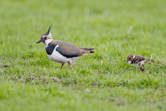 Lapwing chicken (vanellus vanellus) Stock Photography