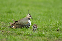 Lapwing chicken (vanellus vanellus) Stock Photography