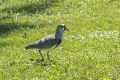 Lapwing of Chile on sunny meadow stock image