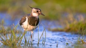 Lapwing female wading in shallow water stock images