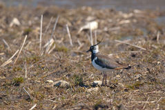 Lapwing on a field Stock Photos