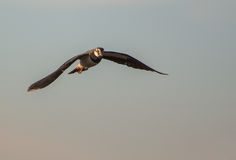 Lapwing on flight Stock Image