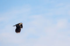 Lapwing in flight Royalty Free Stock Images
