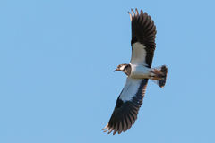 Lapwing in flight. Bird Lapwing flying under blue sky with his wings spread Royalty Free Stock Photography