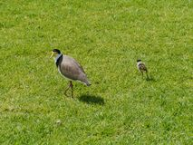 A lapwing with her chicken Stock Image