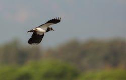 Lapwing i flyg Fotografering för Bildbyråer