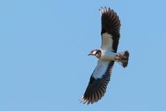 Lapwing i flyg Royaltyfri Fotografi