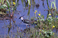 Lapwing at Leighton Moss Royalty Free Stock Images
