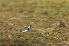 Lapwing on a meadow in spring. A Lapwing on a meadow in spring Stock Photo