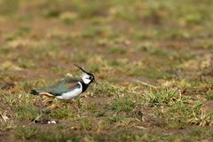Lapwing on a meadow in spring. A Lapwing on a meadow in spring Stock Photography