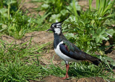 Lapwing. Near on the meadow Stock Image