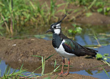 Lapwing. Near on the swamp Royalty Free Stock Photography