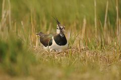 Lapwing on nest with eggs. Lapwing return to nest hidden in grass and sedge on wetland Royalty Free Stock Photos