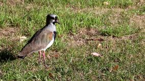 Lapwing in the park stock footage