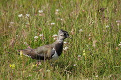 Lapwing  or peewit Stock Images