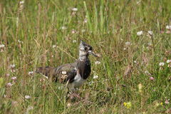 Lapwing  or peewit Royalty Free Stock Photography