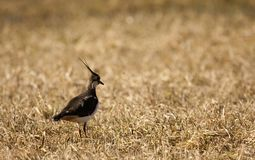 Lapwing Royalty Free Stock Images