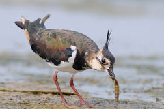 Lapwing with a prey Royalty Free Stock Photo