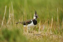 Lapwing in sedge. Lapwing return to nest hidden in grass and sedge on wetland Stock Photography