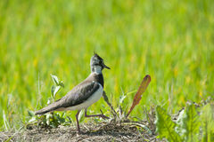 Lapwing in a rice puddy. Lapwing in search of food in a green rice fields of the Po Valley Stock Image