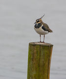 Lapwing on stake. A Northern Lapwing (Vanellus Vanellus) likes using a stake as its favourite resting point at a Netherlands haven Stock Photos