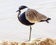 Lapwing Royalty Free Stock Photography