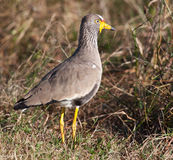 Lapwing staring ahead Royalty Free Stock Images