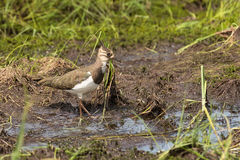 Lapwing on a swamp Stock Image