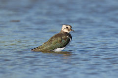 Lapwing taking a bath in a lake Royalty Free Stock Images