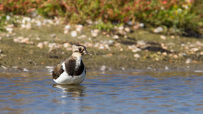 Lapwing taking a bath in a lake Stock Image