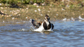 Lapwing taking a bath in a lake Royalty Free Stock Photos
