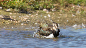 Lapwing taking a bath in a lake Stock Photography