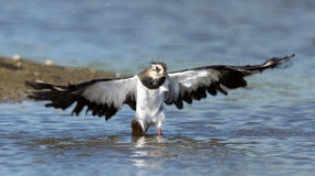 Lapwing taking a bath in a lake Stock Photo