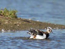 Lapwing taking a bath in a lake Royalty Free Stock Image