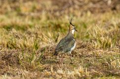 Lapwing, Vanellus vanellus, Northern lapwing in Spring time stock photography
