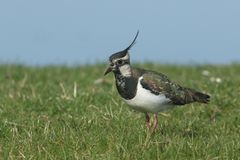 A stunning Lapwing, Vanellus vanellus, searching for food in a grassy field at the edge of a water in spring. A Lapwing, Vanellus vanellus, searching for food stock photography
