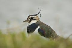Lapwing - Vanellus vanellus Stock Photos