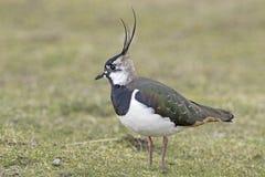 Lapwing (Vanellus vanellus) Royalty Free Stock Image