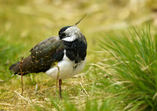Lapwing - (Vanellus vanellus). Drowsing lapwing in grass on one's leg Stock Images