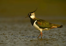 Lapwing - (Vanellus vanellus. Picphoto of lapwing on muddy bank Stock Image