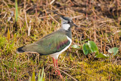 Lapwing (Vanellus vanellus) Royalty Free Stock Photos