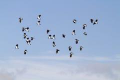 Lapwing (Vanellus vanellus) Stock Photography