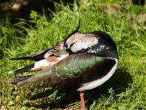 Lapwing - vanellus vanellus Stock Images